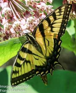 eastern tiger swallowtail butterfly on milkweed flower