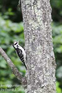 hairy or downy woodpecker on tree