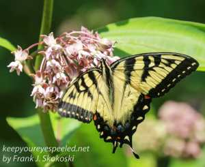 eastern tiger swallowtail butterfly on milkweed flower