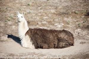 alpaca along highway Idaho