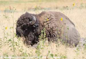 Buffalo in grass on Antelope Island