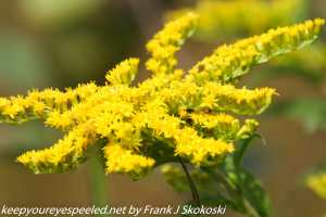 yellow ragweed flower in bloom
