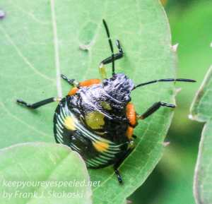 beetle on jewel weed leaf