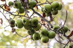 wild crab apples