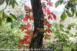 red vine leaves on tree
