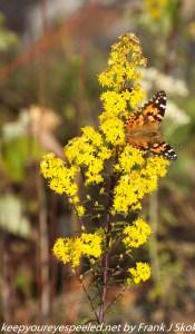 butterfly on golden rod flower