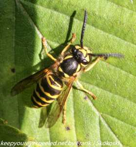 close up of yellow jacket on leaf