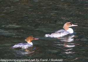 pair of common mergansers in Lehigh River