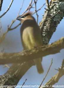 cedar waxwing on tree branch