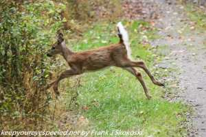 deer fawn leaping along path