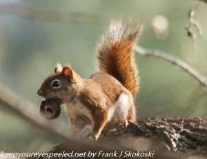 red squirrel with nut on tree branch