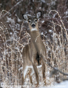 white tailed deer in weeds