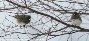 northern juncos in tree