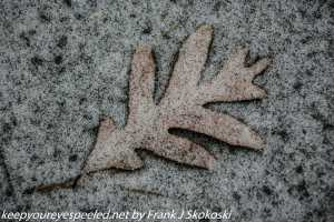 snow covered oak leaf