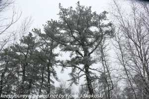 pitch pine in snow