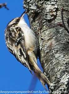 brown creeper on tree trunk