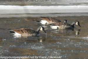 canada geese on Lehigh River