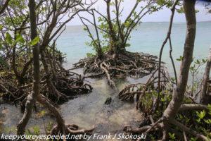 mangrove trees along beach