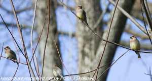 cedar waxwings in tree