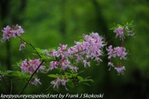pink azalea or honeysuckle