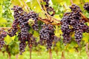 530372-bossen-van-rode-druiven-groeien-op-een-wijn-stok