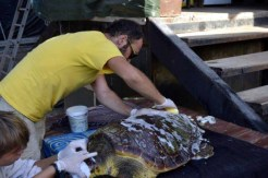 Μεταφορά στην Αθήνα χελώνας Caretta Caretta