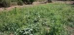 Εντοπίστηκε φυτεία κάνναβης στην Κεφαλονιά