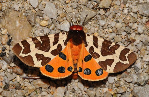 https://en.wikipedia.org/wiki/Garden_tiger_moth#/media/File:Arctia_caja_Buchstein02.jpg