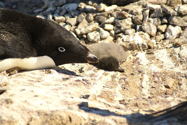 One of the many dead Adélie penguin chicks found on Petrels Island in the Antarctica. Photograph: Y Ropert-Coudert/CNRS/IPEV