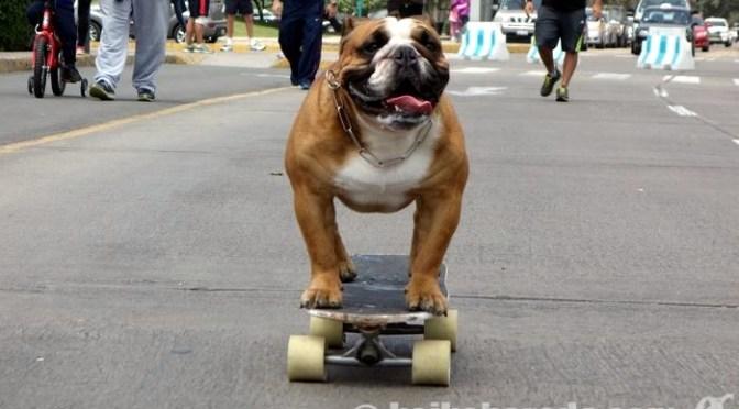 週末の人気者 スケボー犬ビウフ