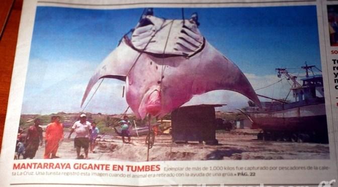 トゥンベスで8メートルの巨大マンタ捕獲