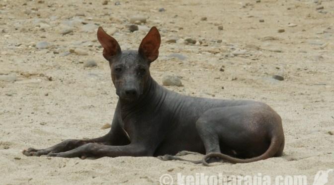 ペルーの無毛犬をNY Timesが紹介