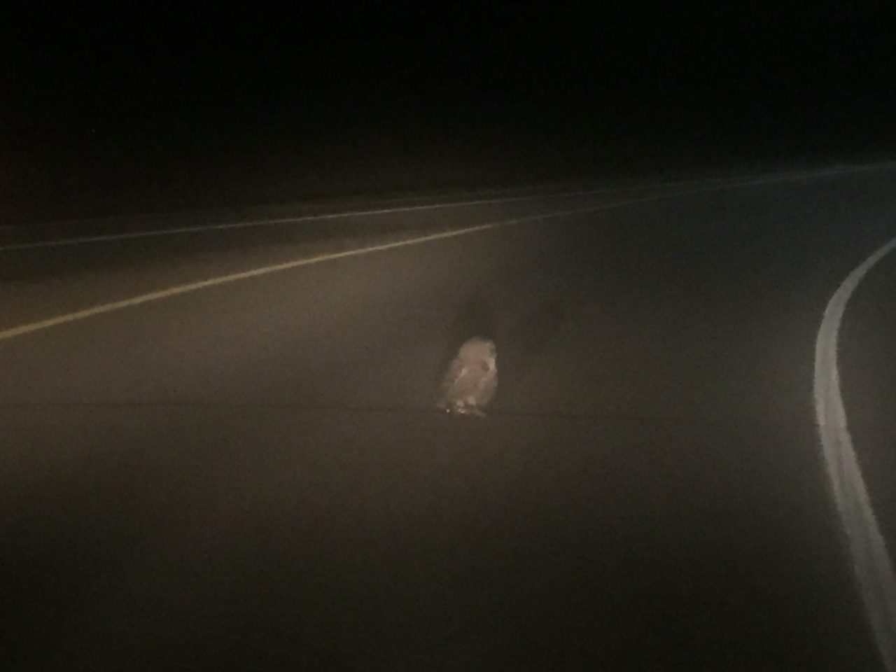 owl on the road