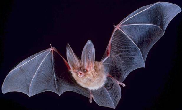 Photo of a big eared townsend bat