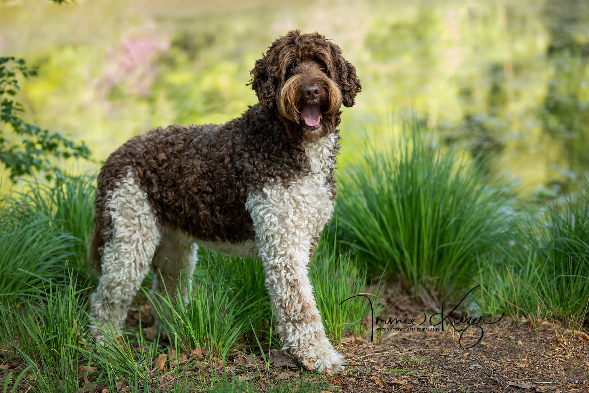 Fotoshoot Hond Co,plee Standfoto Labradoodle