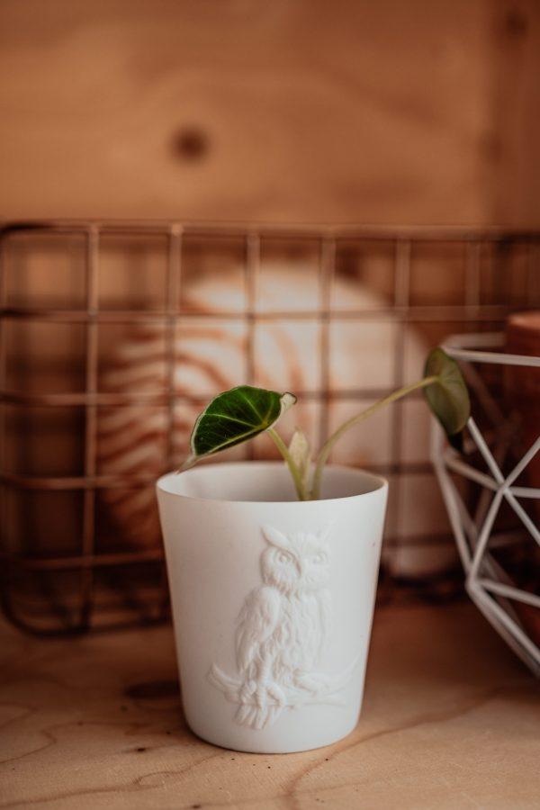 Alocasia Black Velvet cutting, plug plant, baby plant