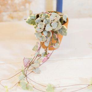 Ceropegia woodii ssp. woodii pink