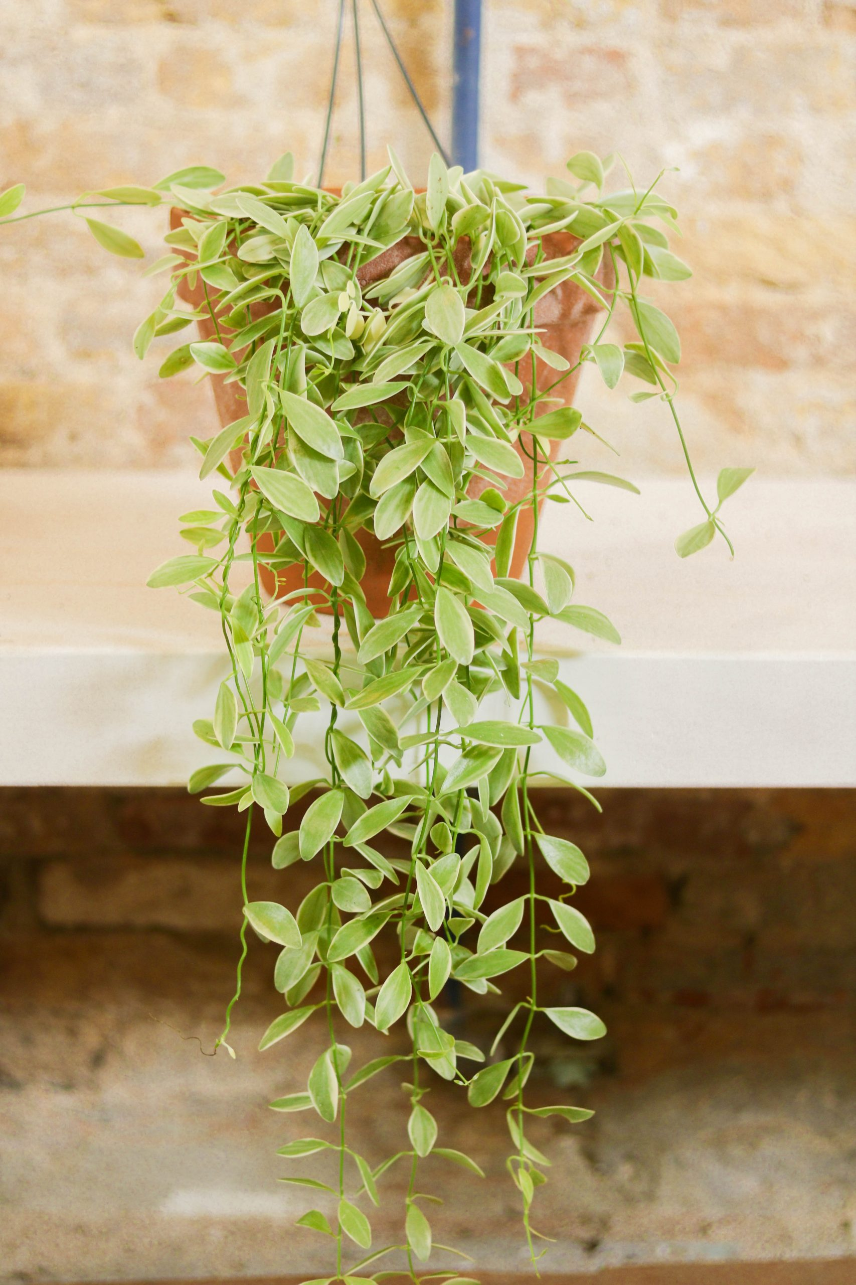 Dischidia pectenoides Oiantha variegata