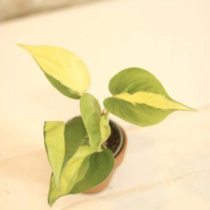 Philodendron scandens 'Brasil' plug size