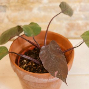Philodendron Pink Princess A