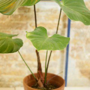Philodendron Nangaritense C