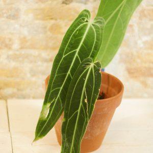 Anthurium Warocqueanum A