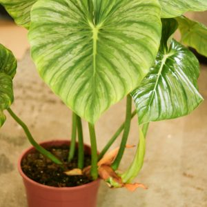 Philodendron Mamei XL