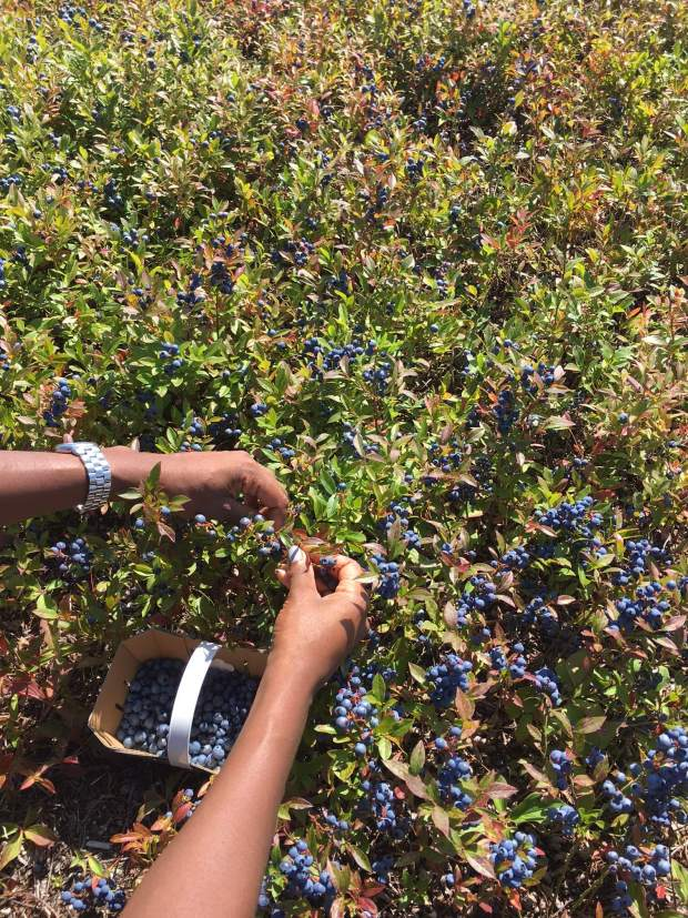 one person picking blueberries