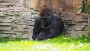 gorilla-1416459_1920