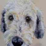 Benji cross breed pet portrait - Kelly Goss