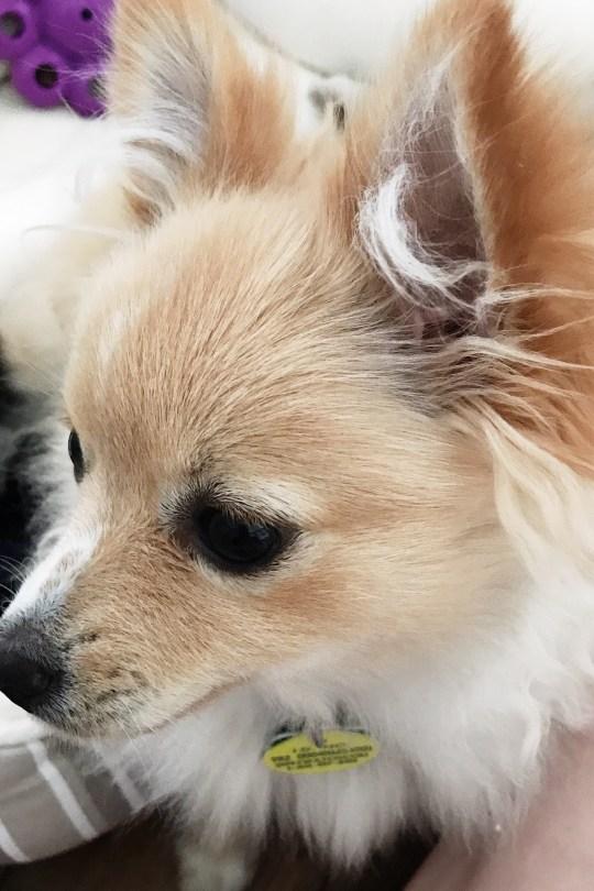 Pomeranian Adoption Rescue