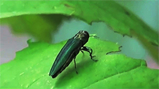 KELO Don't Miss Emerald Ash Borer