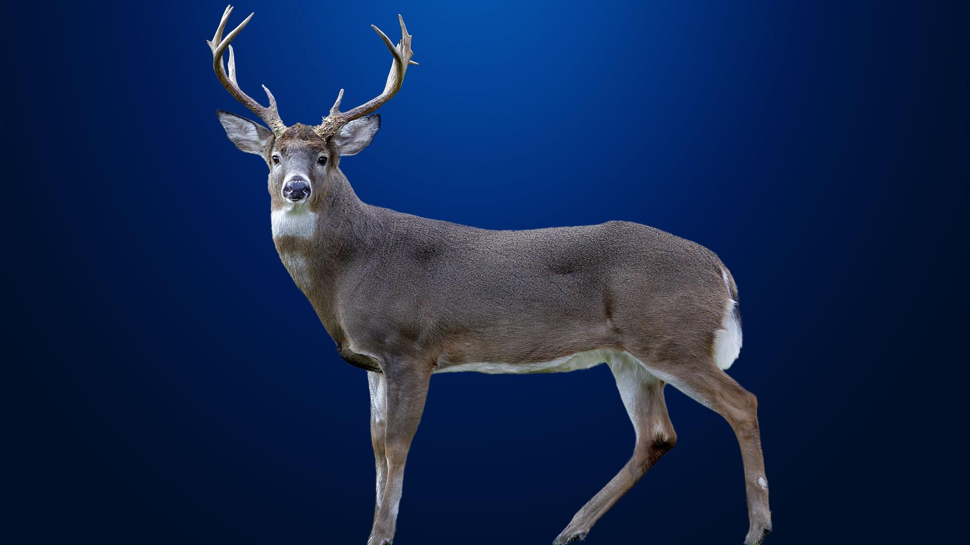 KELO Deer