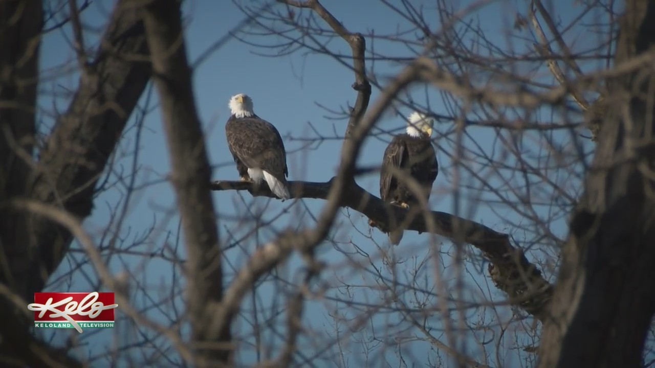 Bald Eagles Soaring In Numbers